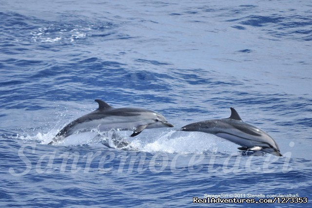 Striped dolphins (#7 of 7) - Whale Watching Europe