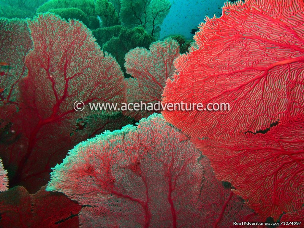 Jungle Of Sea Fan | Image #3/4 | Pulau Weh Dive Packages