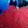 Pulau Weh Dive Packages With sea fan