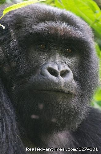 Mountain Gorillas - Pearl of Africa Tours and Travel