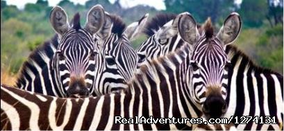 Zebras - Pearl of Africa Tours and Travel