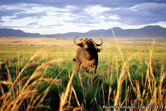 Buffalo in Kidepo (#6 of 8) - Pearl of Africa Tours and Travel
