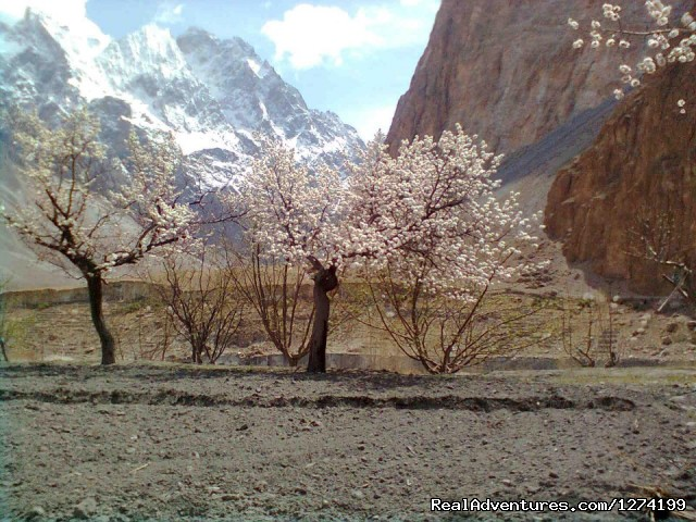 Blossom in Hunza - Trekking and Mountaineering in Pakistan