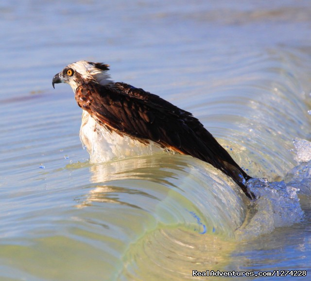 Osprey Birding Photo Tour - Nature:Boat Assisted,Photo,Sunset,Birding,EcoTours