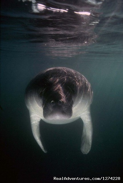 Manatee Underwater Shot - Nature:Boat Assisted,Photo,Sunset,Birding,EcoTours