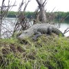 Nature:Boat Assisted,Photo,Sunset,Birding,EcoTours Gator on Nest