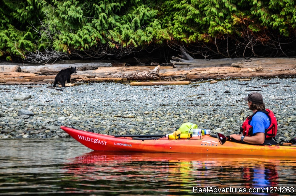 Bear on Beach when Sea Kayaking in BC | Image #7/19 | Wildcoast Adventures - kayak vacations & adventure