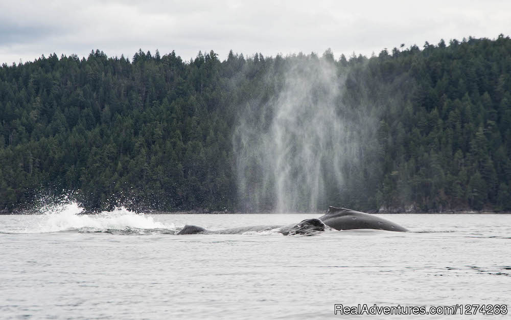 Humpback Whales Quadra Island, BC | Image #10/19 | Wildcoast Adventures - kayak vacations & adventure