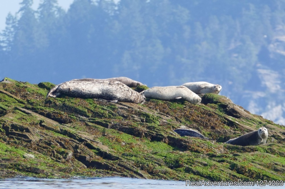 seals Quadra Island, BC | Image #12/19 | Wildcoast Adventures - kayak vacations & adventure