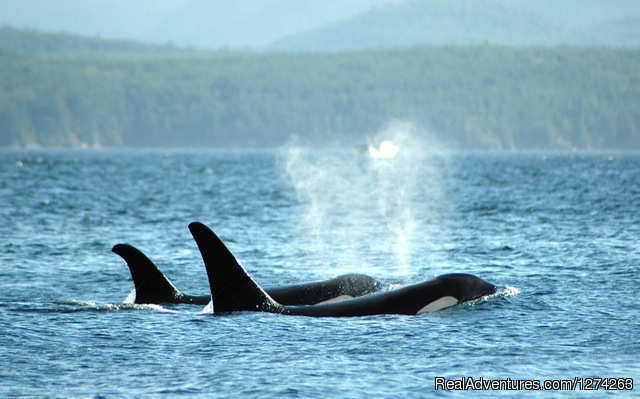 Kayaking with Orcas - Wildcoast Adventures - kayak vacations & adventure