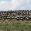 6 Days Serengeti Wildebeest Migration Tanzania Wildlife & Safari Tours