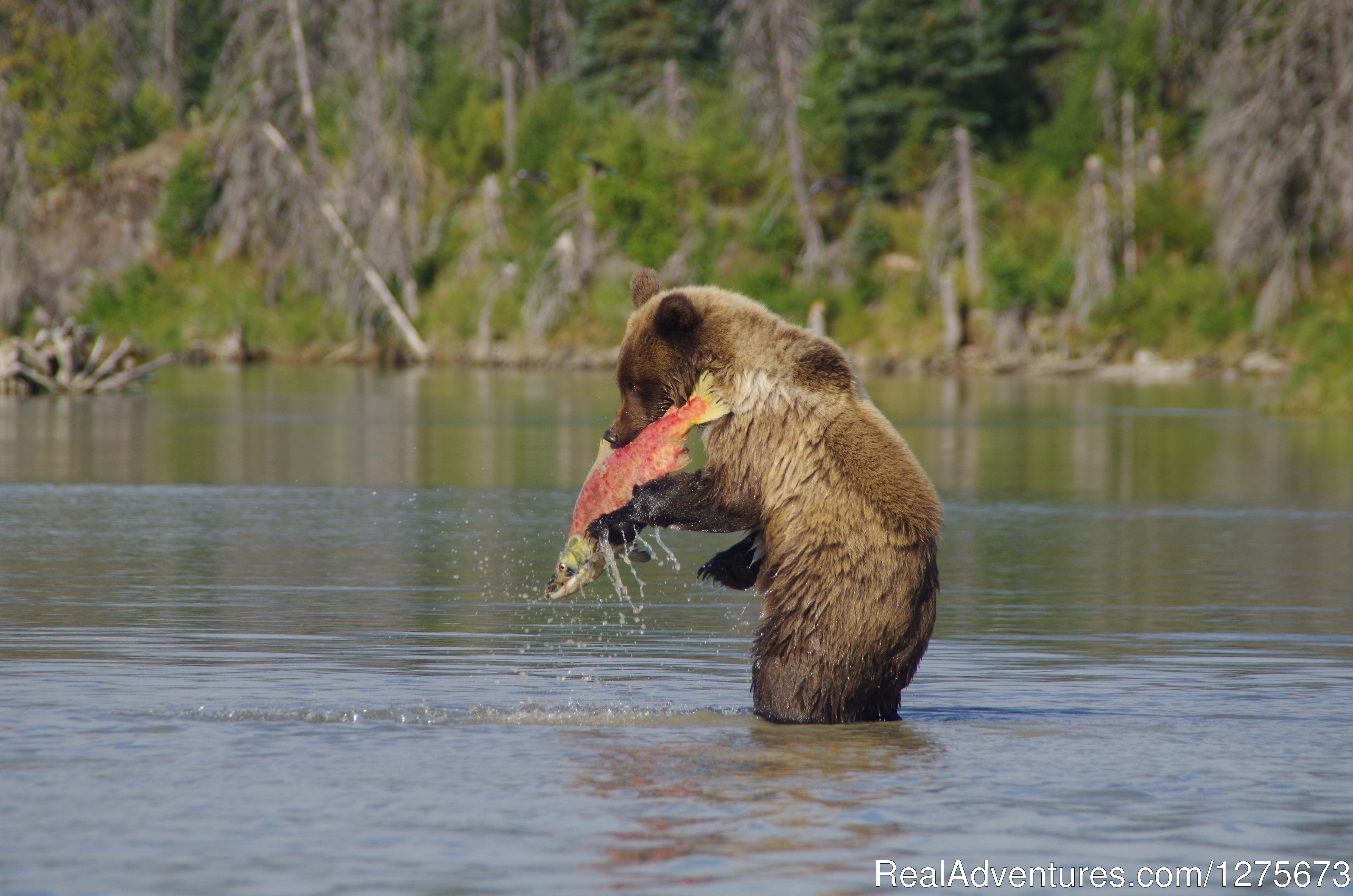 Catching a snack for lunch... | Image #2/6 | 6 Hour Bear Tour