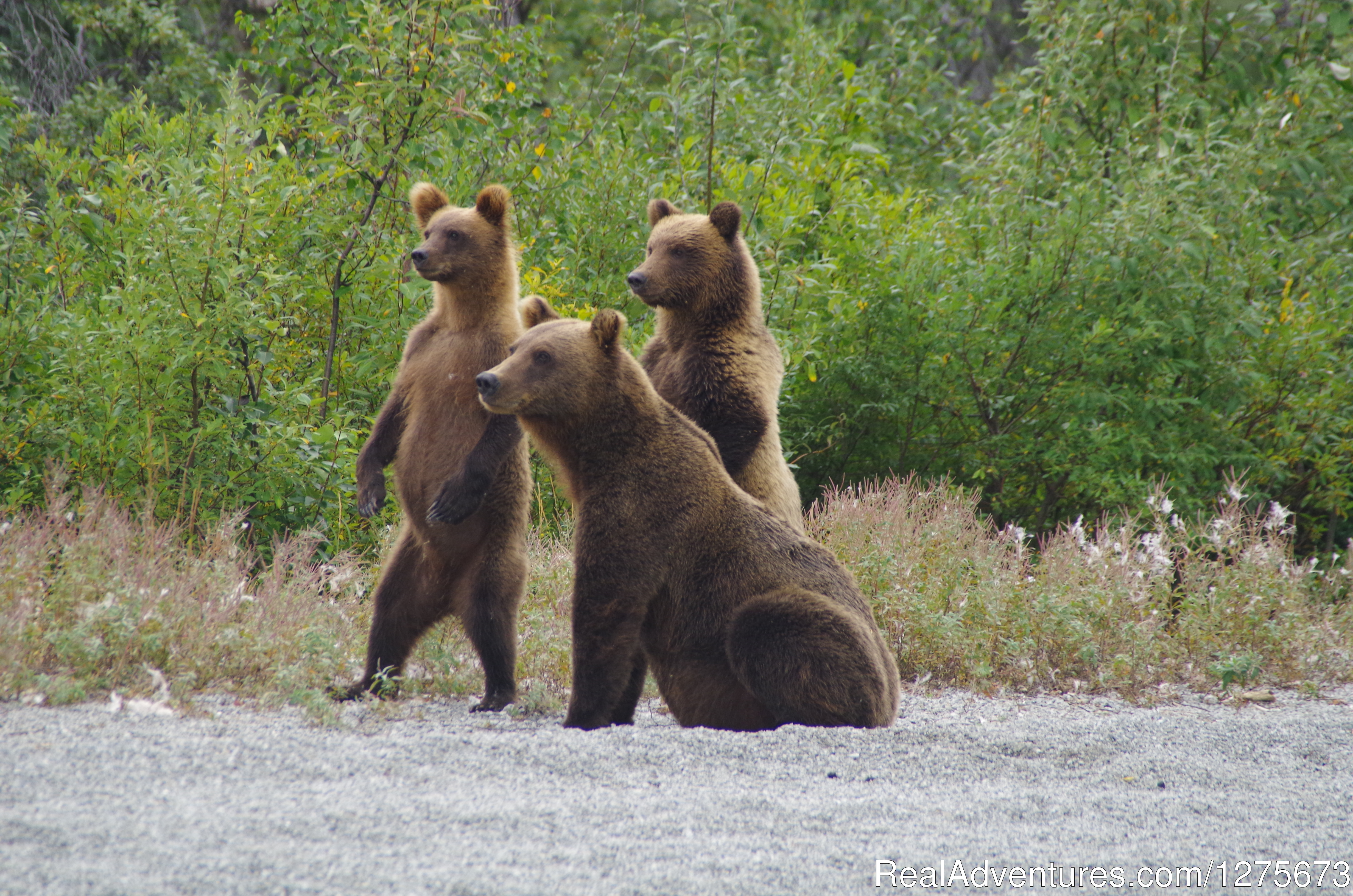 What You Looking At? | Image #4/6 | 6 Hour Bear Tour