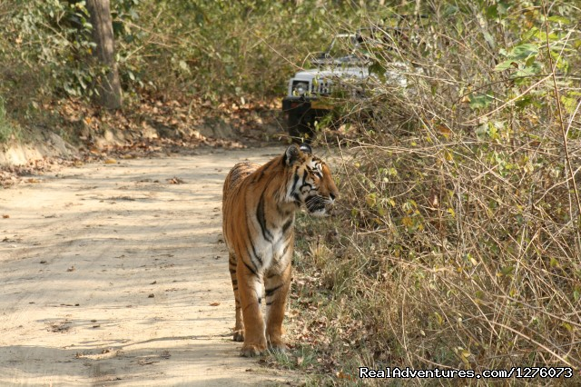 Tiger Tiger - Corbett National Park