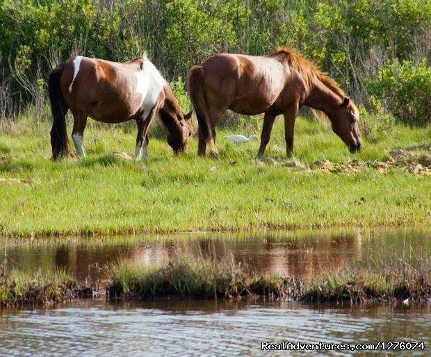 Enjoy Terrapin Treks most exciting trip  Your three day journey will take you to the beautiful Assateague island on Marylands eastern shore. You will see the famous wild Assateague ponies while hiking along side the Atlantic ocean.