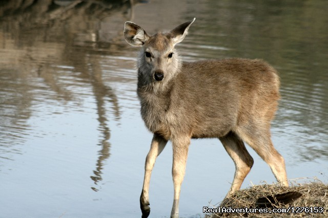 Sambur Deer - Sariska National Park