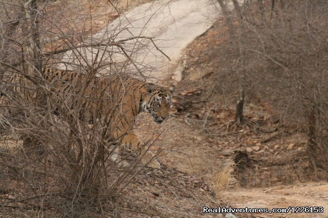 Tiger - Sariska National Park