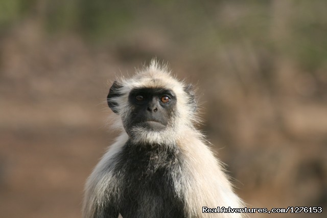 Langurs or Hanuman Monkey - Sariska National Park