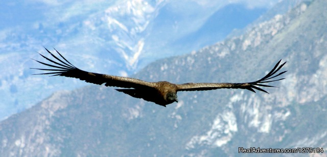 Colca Canyon trek Arequipa -Per?: Condor?s Fly at colca canyon