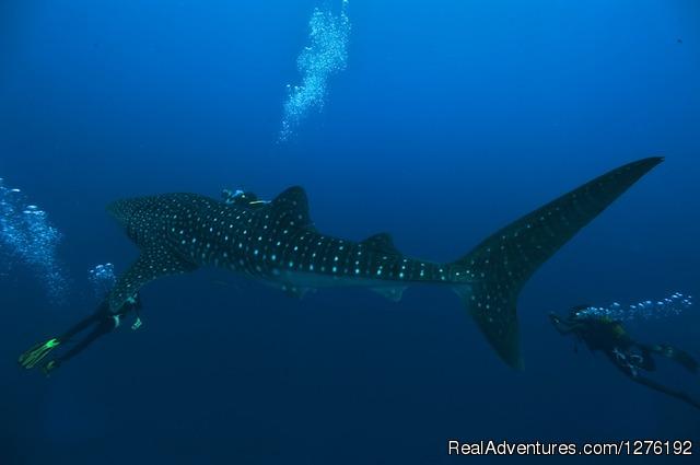 Whale Shark - MV Carina Liveaboard Maldives
