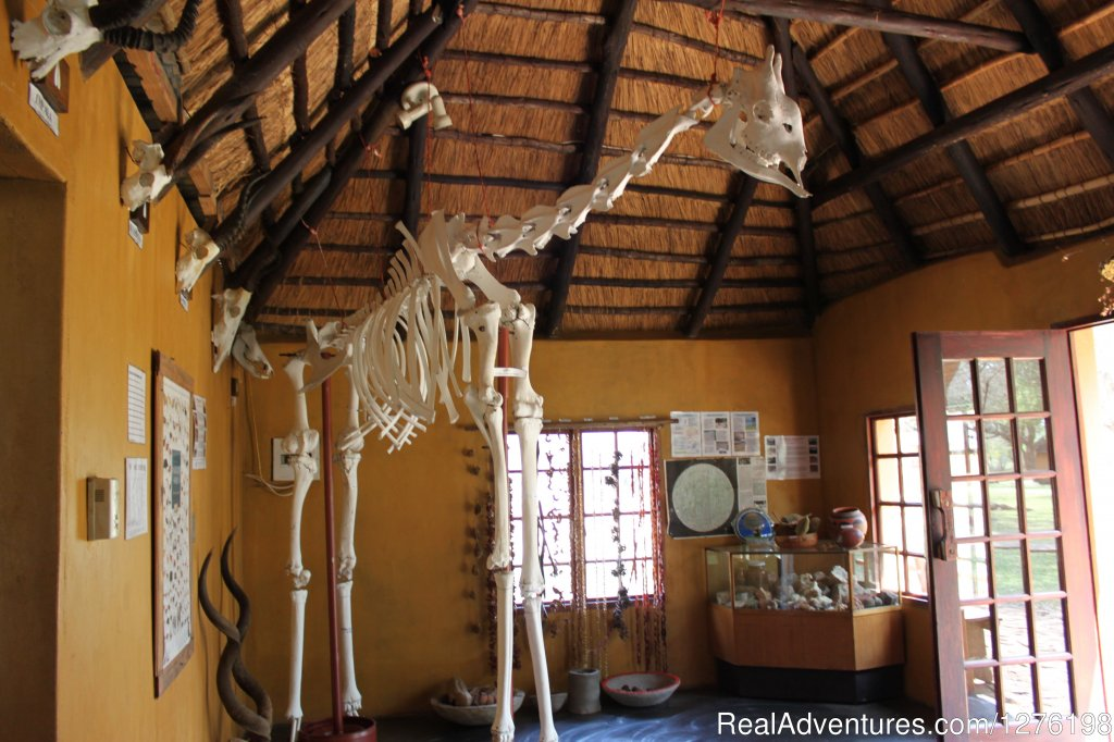 Giraffe skeleton in Eco Centre | Image #6/12 | Wildlife Volunteering South Africa