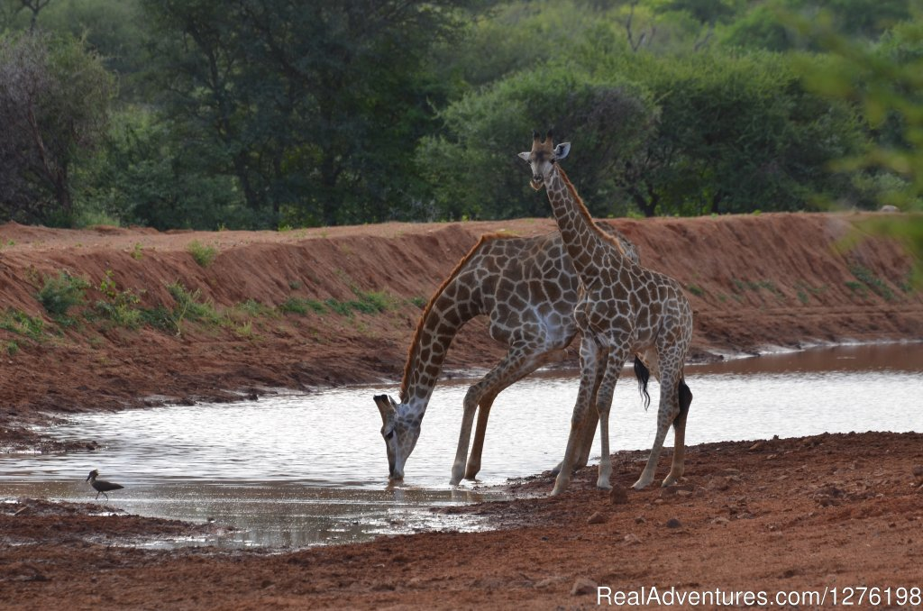 Giraffes drinking | Image #7/12 | Wildlife Volunteering South Africa