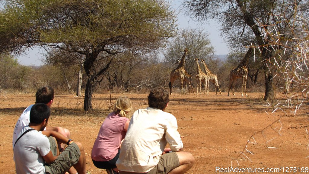 Volunteers tracking giraffe on foot | Image #2/12 | Wildlife Volunteering South Africa