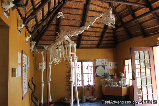 Giraffe skeleton in Eco Centre - Wildlife Volunteering South Africa