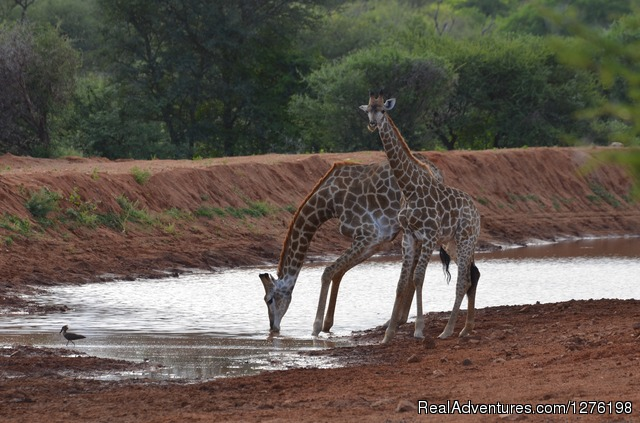 Giraffes drinking - Wildlife Volunteering South Africa