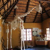 Giraffe skeleton in Eco Centre