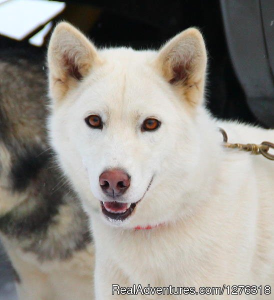 One of our young, upcoming leaders | Image #12/13 | Valley Snow Dogz - White Mountain Sled Dog Tours