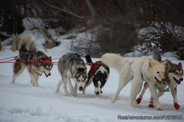Heading Out Onto Squam Lake NH - Valley Snow Dogz - White Mountain Sled Dog Tours