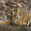 Wildlife Safari mainly for Tiger. Tala, India Bed & Breakfasts