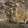 Wildlife Safari mainly for Tiger.