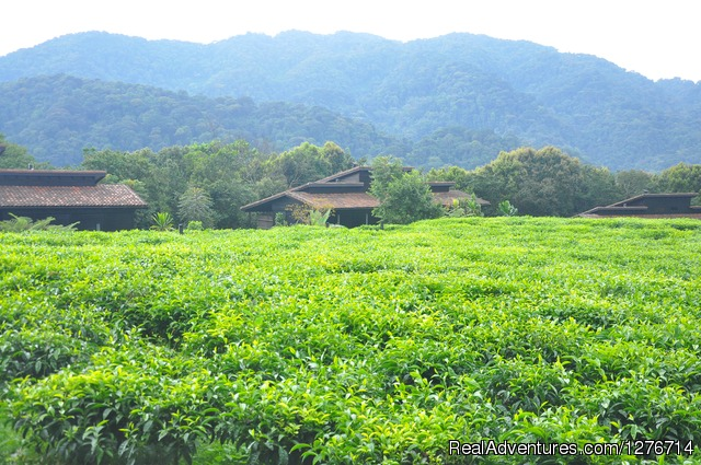Tea Plantation Near Virunga Volcanoes - Uganda Safaris and Tours