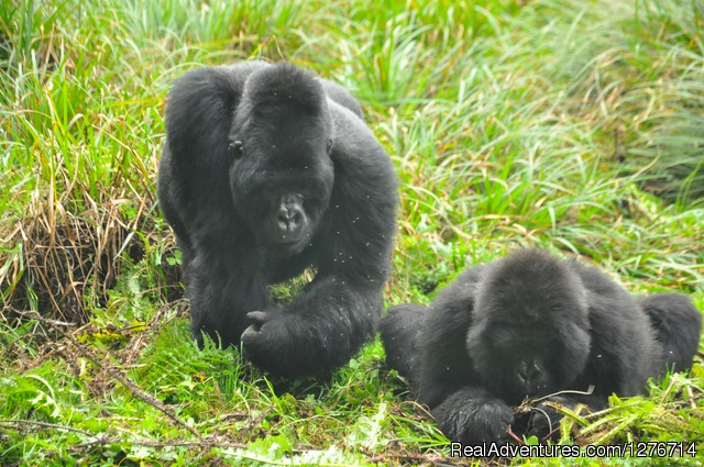 Gorilla in Volcanoes National Park - Uganda Safaris and Tours
