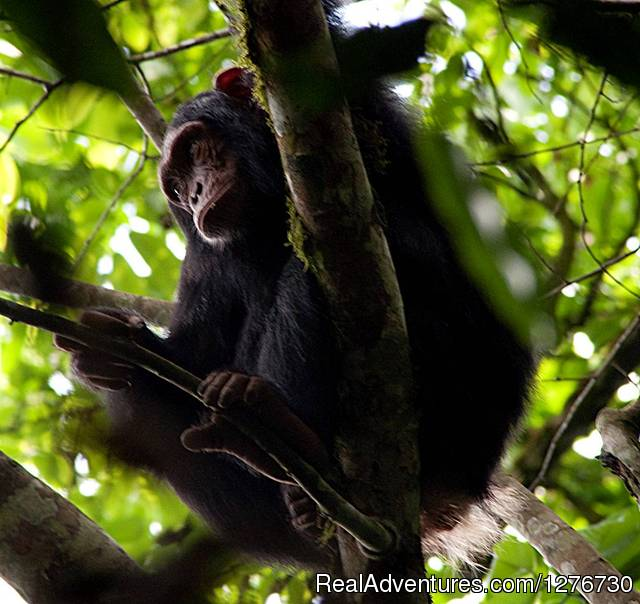 Chimpanzee - Uganda Tours and Safaris