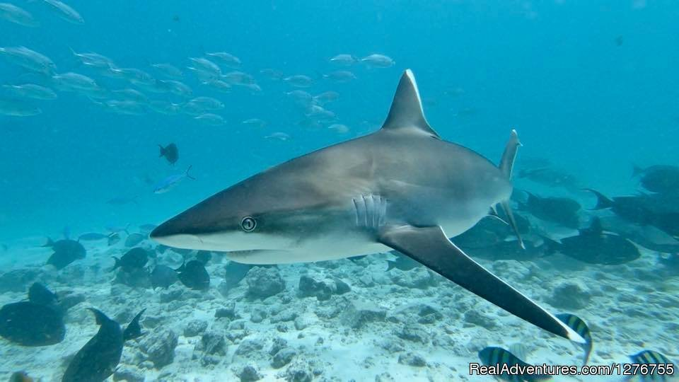 Image #1/12 | Ari Atoll, Maldives | Scuba & Snorkeling | Shark Diving in Fuvahmulah