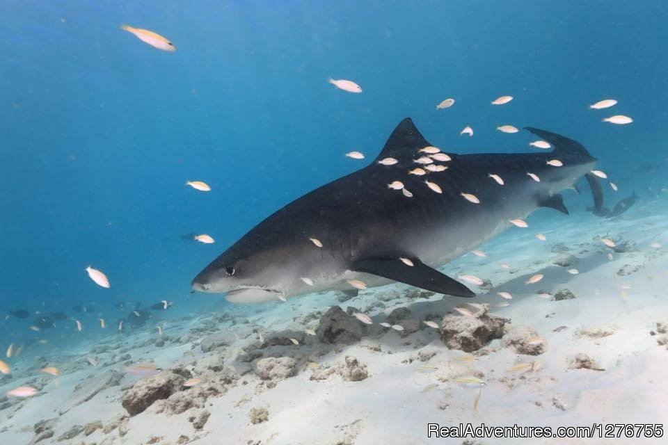 Image #6/12 | Shark Diving in Fuvahmulah