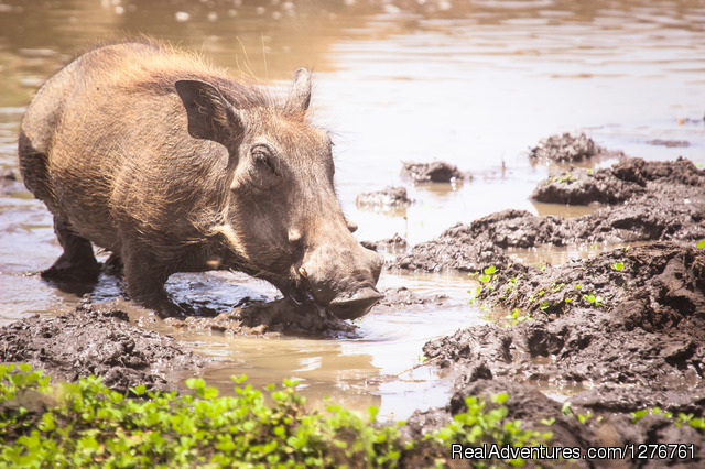 Warthog - 12 Days Kenya and Tanzania Wildlife Safari