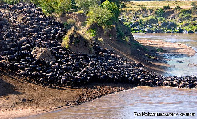 Thousands of Wildebeest Crossing the deadly Mara River - 3 Days Masai Mara Lodge Safari