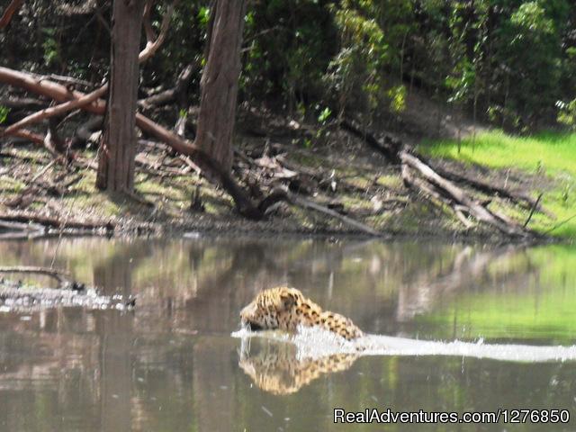 Jaguar (#4 of 26) - Amazon Jungle Tour