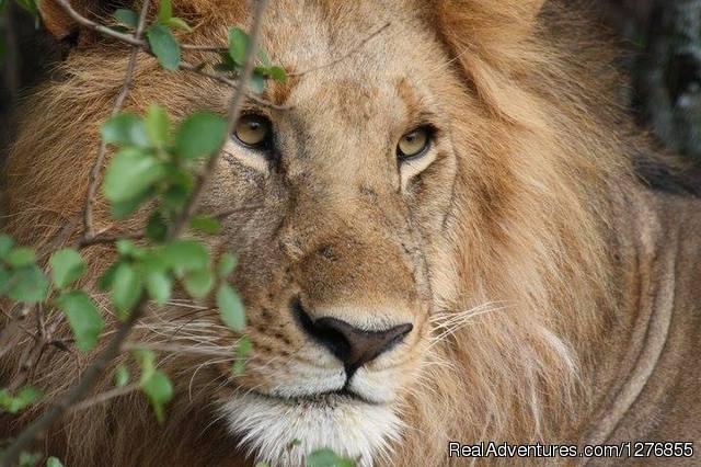 Lion in Mara - Adventure Camping Safari-Kenya