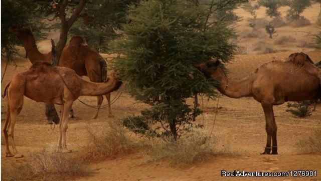Thar Desert - Umaid Safaris & Desert Lodge, Bikaner