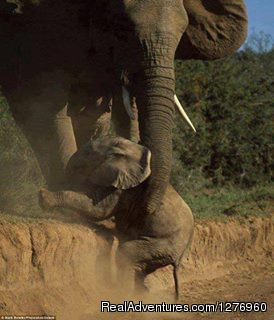 Elephat saving the young one in Amboseli National park