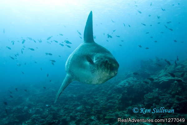 (c) Ken Sullivan. Mola Mola Fish - Best of Bali Dive Safari - 13Days/27Dives