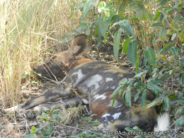 Wild dog in the Selous Game Reserve - 3 Day Selous safari