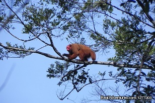 Red  Uakari mokey, inhabitant of the Tapiche Reserve - Tapiche Reserve Authentic Jungle Experience