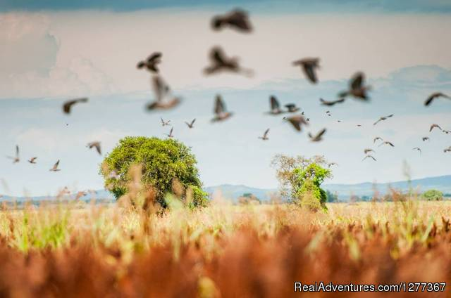 Dove Hunt in Cordoba, Argentina