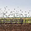 Dove Hunt in Cordoba, Argentina